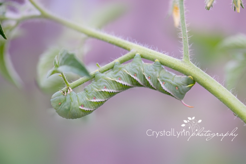 #crystallynnphotography_#caterpillar